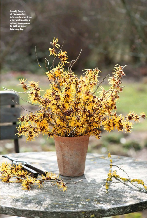 ??  ?? Spindly fingers of Hamamelis x intermedia erupt from a terracotta pot in a spidery arrangement to light up a grey February day.
