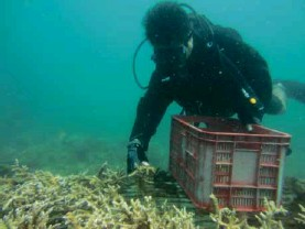 ?? CONTRIBUTED PHOTO ?? COLLECTING CORAL FRAGMENTS A diver-environmentalist collects coral fragments around the Subic Bay area that are later attached to a coral nursery unit to help damaged coral reefs recover and regenerate.