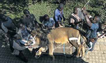 ??  ?? Chaos, a lion weighing 260kg, underwent four skin cancer treatments at De Muelenaere Oncology practice in Arcadia, Pretoria — a hospital that traditionally treats human patients. After being sedated the big cat is prepared to be transported from the zoo in Midrand where he lives to Pretoria for treatment.