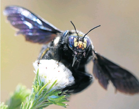 ??  ?? The carpenter bee, found throughout SA, likes to hover over a patch of flowers to which females are attracted, in order to mate.