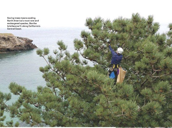 ??  ?? Saving trees means scaling North America's most rare and endangered species, like the bristlecone fir along California's Central Coast.