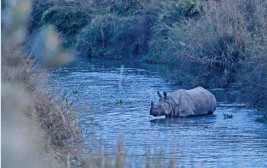 ?? (AFP) ?? This file photo shows a one-horned rhinoceros crossing the Rapati River in Sauraha Chitwan, some 150km southwest of Kathmandu, the capital of Nepal, on January 1, 2020
