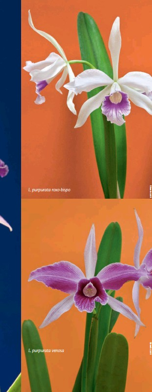 ??  ?? L. purpurata roxo-bispo L. purpurata venosa