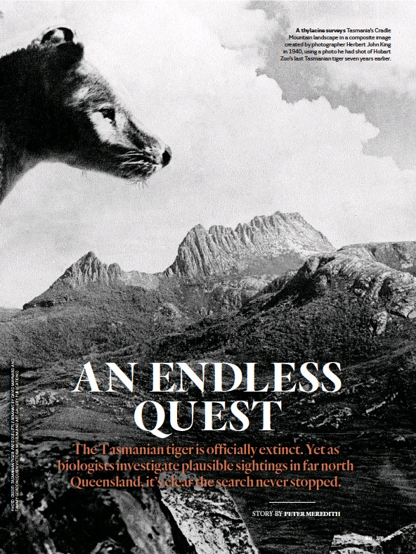 ??  ?? A thylacine surveys Tasmania's Cradle Mountain landscape in a composite image created by photographer Herbert John King in 1940, using a photo he had shot of Hobart Zoo's last Tasmanian tiger seven years earlier.