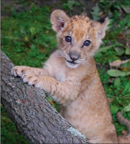 ?? COURTESY DETROIT ZOO ?? Binti, the first lion cub born in the Detroit Zoo since 1980, was born Sept. 10, in Royal Oak.