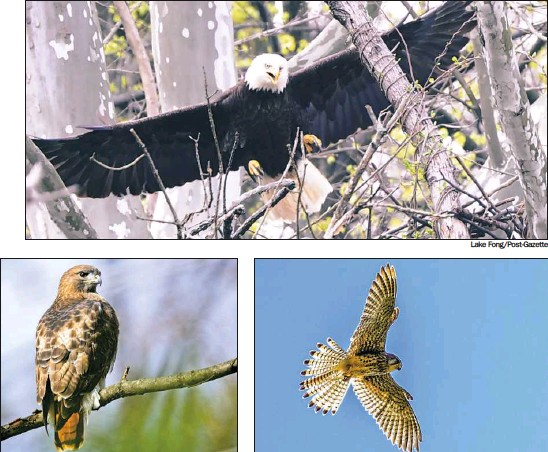 ?? Getty Images Lake Fong/Post-Gazette Getty Images ?? Above right: A kestrel hovers. Above left: A red-tailed hawk rests in a tree. Top: The female bald eagle returns to her nest in Hays.