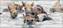 ?? ALEXA WELCH EDLUND/TIMES-DISPATCH ?? In 2004, wild ponies made the 400-yard swim across Assateague Channel to Chincoteague.