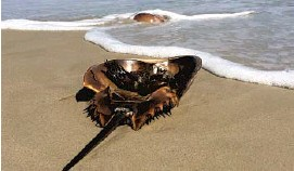 ?? PHO­TOS COUR­TESY JIM AREND ?? A hor­shoe crab washed ashore on the beach at Fort Mon­roe. The crabs face in­creas­ing threats to their en­vi­ron­ment that in­clude pol­lu­tion, devel­op­ment and over­har­vest­ing.