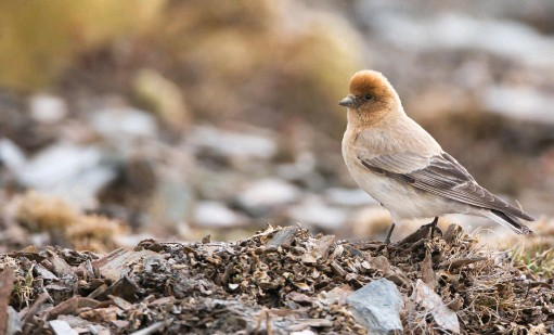 ??  ?? In 2012, Yann Muzika took photographs of the above finch while trekking in the remote Yeniugou Valley in west Qinghai, China. It later transpired to be Sillem's Mountain Finch, a little-known species not seen for more than 80 years.