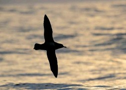 ??  ?? Manx Shearwaters spend their UK days at sea and only return to land under cover of darkness. At dusk, birds can be seen gathering in large 'rafts' off Lundy's west coast
