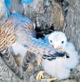 ??  ?? i A baby kestrel bites at its mother's tail feathers on one of Fuller's bird cams