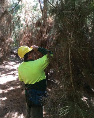??  ?? ■ Forestry Corporation's Jeff Matthews using a tree height measuring tool (Vertex) in a 13 year old plantation near Tumut.
