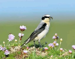 ??  ?? Prior to rat-eradication, Wheatear nesting success was paltry on Lundy. Today, the population numbers in three figures, which must be one of the highest breeding densities in Britain