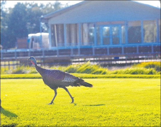 ?? Mark Hoffman Milwaukee Journal-sentinel via AP ?? A wild turkey struts across the ninth tee at Whistling Straits Golf Course, home of this week's Ryder Cup. Located on the shores of Lake Michigan, the course presents challenges to players and spectacular views for spectators.