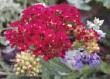 ??  ?? Top 8 flowering plants, clockwise from top left: Veronica, pincushion flower, Joe Pye weed, hosta, yarrow, black-eyed Susan, bee balm and coral bells.