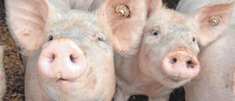 """?? FOTO: BERND WÜSTNECK/DPA ?? Für Schweinehalter war 2020 """"ein Jahr der Extreme"""", sagen Branchenexperten. So hervorragend das Jahr für Ferkelerzeuger und Schweinemäster begonnen habe, so niederschmetternd gehe es nun zu Ende."""