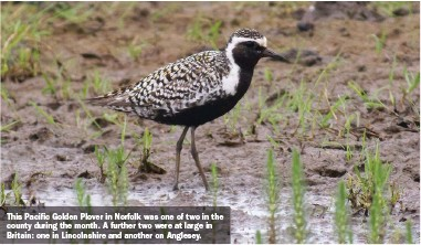 ??  ?? This Pacific Golden Plover in Norfolk was one of two in the county during the month. A further two were at large in Britain: one in Lincolnshire and another on Anglesey.