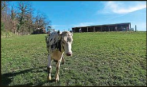 ??  ?? Les animaux abattus à la ferme ne quittent jamais leur environnement.