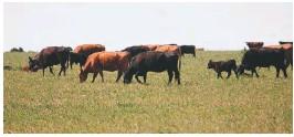 ??  ?? Las parcelas que se pastorean están divididas por alambre eléctrico y la carga animal es de una vaca por hectárea.