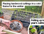 ??  ?? Placing hardwood cuttings in a cold frame for the winter Potting up last