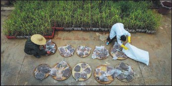 ??  ?? Bai, who has worked in the plantation for more than 20 years, and his wife Fu Jinke dry bags of seed pods on bamboo trays.