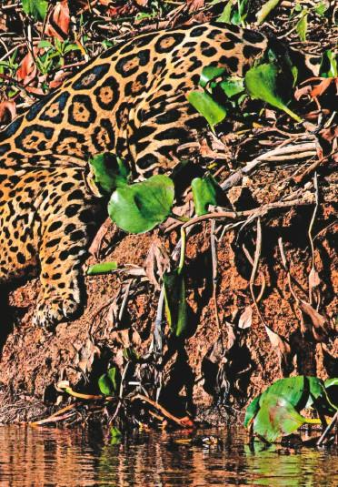 ??  ?? El jaguar es el felino más grande de América y el tercero en el mundo después del tigre y el león.