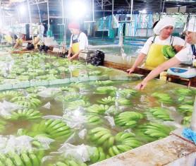 ??  ?? Ang mga saging sa Dole Philippines nga gihugasan.