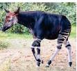 ?? FOTO: WERNER SCHEURER ?? Okapi-Bulle Qenco ist aus Basel nach Köln gekommen.