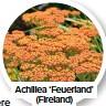 ??  ?? Achillea 'Feuerland' (Fireland)