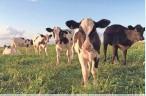 ?? HEIDEL-BAKER ?? Calves enjoy the sunshine and pasture on Bossie Cow Farm.THELMA