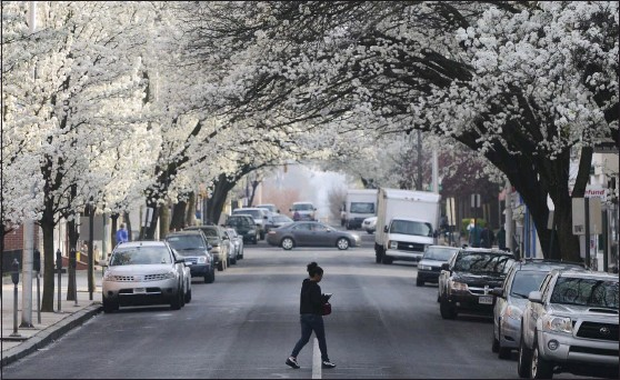 ?? BEN HASTY — READING EAGLE ?? A canopy of blooming trees covers North 10th Street in Reading in this file photo. The flowers may look pretty, but for some they signal the arrival of seasonal allergies.