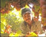 ?? BY MANUEL ROIG-FRANZIA — THE WASHINGTON POST ?? Luis Arnaya Espinosa picks table grapes at a ranch outside Hermosillo, Mexico, where temperatures routinely top 100 degrees during harvest season.