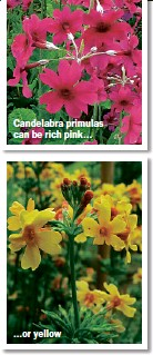 ??  ?? Candelabra primulas can be rich pink... ...or yellow