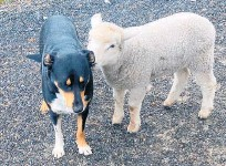 ?? Photo / Gareth Richards ?? Charles and Graham back home safe on the farm in Whangamata.