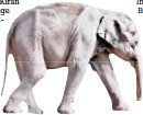 ?? Foto: zoo leipzig ?? Kleiner Dickhäuter nimmt nicht zu: Elefantenbaby Kiran