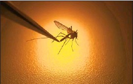 ?? RICK BOWMER Associated Press ?? WEST NILE virus, which is transmitted by mosquitoes, is common in California in summer and early fall. Most people infected feel no symptoms, the CDC says.