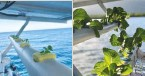 ??  ?? Hydroponic gardening aboard Chasing Eden proved fast and productive