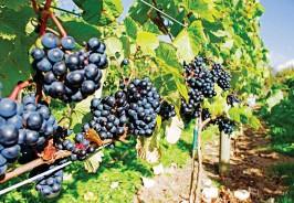 ??  ?? PRIZE WINNER: Gwinllan vineyard, above. Below: Llanerch's wines