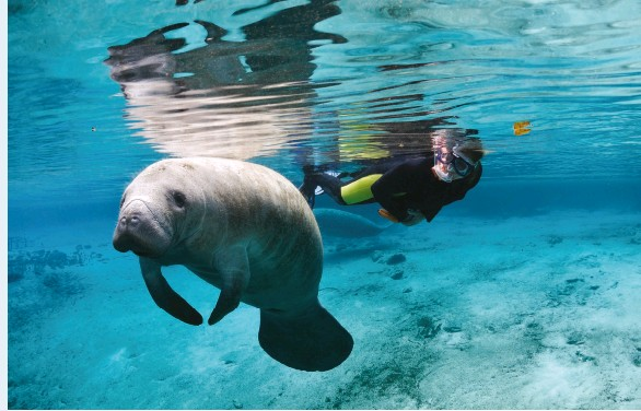 ??  ?? SWIM WITH THE MANATEES, CRYSTAL RIVER • DISCOVER CRYSTAL RIVER FLORIDA