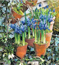 ??  ?? i Iris reticulata 'Harmony' in terracotta pots – you can never have enough, so order early