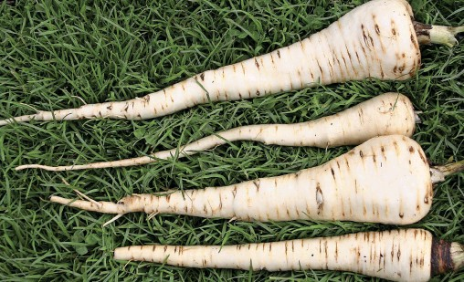 ??  ?? First parsnips in Novem­ber - Gla­di­a­tor