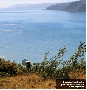 ??  ?? A speaker broadcasting gannet calls is concealed in the vegetation