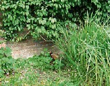 ??  ?? A pheasant in the scented garden