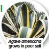 ??  ?? Agave americana grows in poor soil