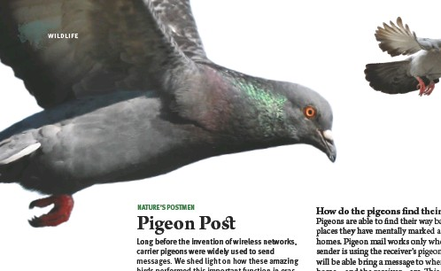 ??  ?? ABOVE Homing pigeons used in competitive pigeon racing have been recorded to travel as far as 1,800 km (1,100 miles)