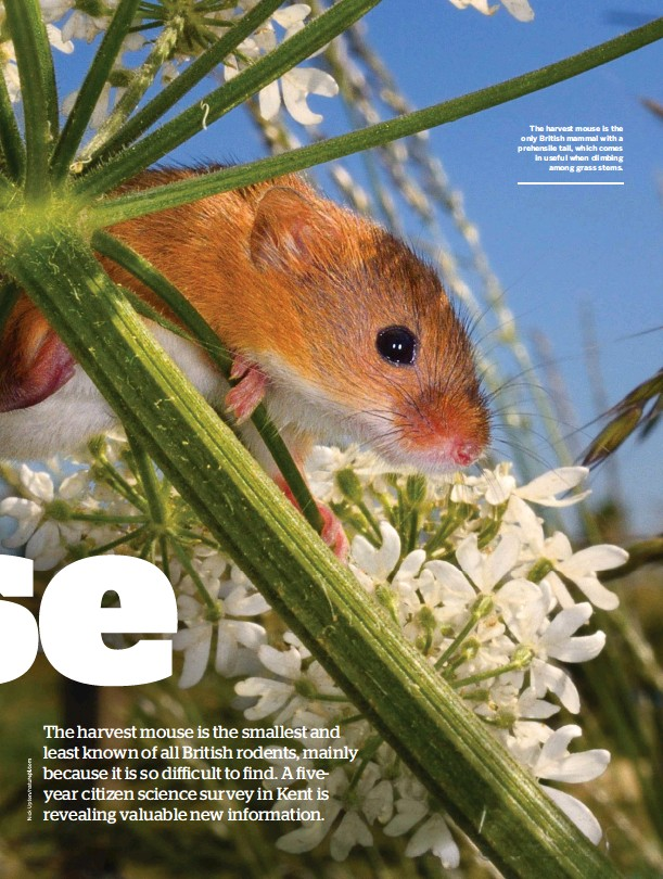 ??  ?? The harvest mouse is the only British mammal with a prehensile tail, which comes in useful when climbing among grass stems.