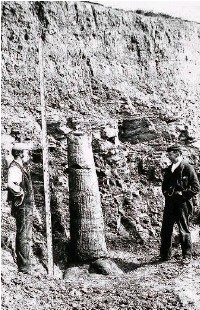 ??  ?? ●●Workmen with a fossilised tree discovered in the 1890s
