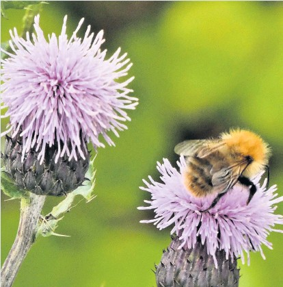 ??  ?? Let it bee Alex Ireland was enjoying a walk in his Carse of Gowrie garden when he spotted this visitor