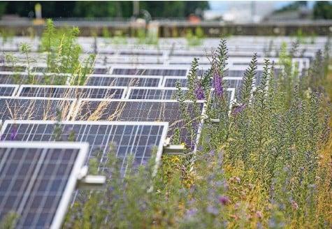 ?? Foto: Raphael Moser ?? Die überwachsenen Solarpanels: Der Schatten der Pflanzen führt zur Reduktion der Stromproduktion.
