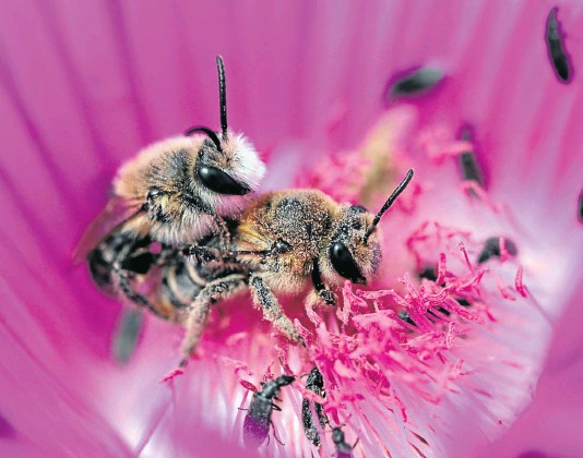 ??  ?? Solitary bees in the Western Cape, which do not live in colonies, hatch and mate as the spring flowers blossom.